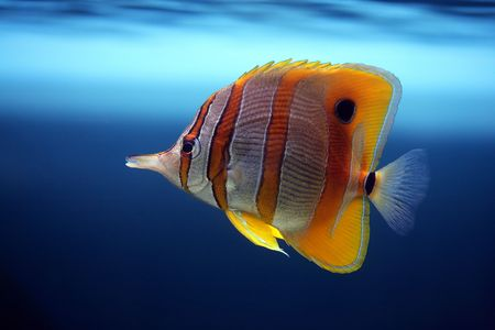 floats: Colourful Sixspine butterfly-fish floats in an aquarium