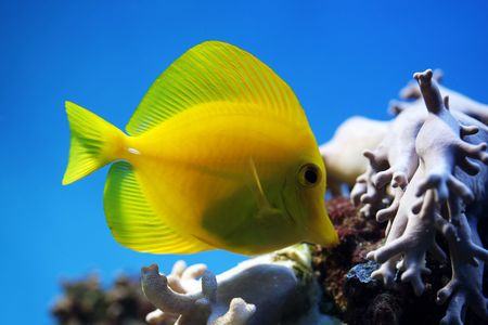 flavescens: tropical fish (Zebrasoma flavescens) floats in the aquarium Stock Photo