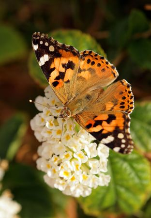 multi-coloured butterfly on a flower photo