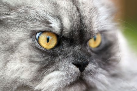 Yellow eyes of a cat close up photo