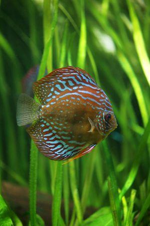 diskus: Multi-coloured Diskus against green plants in an aquarium Stock Photo