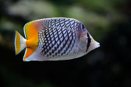 Fish-butterfly with a yellow tail in aquarium
