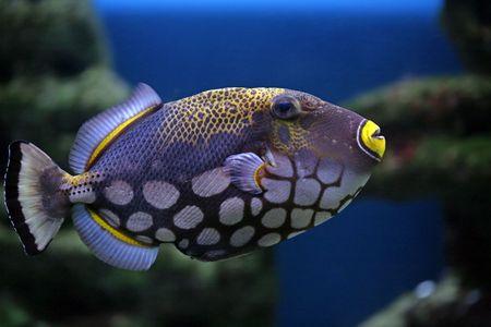 Tropical fish Balistoides conspilum, in an aquarium Stock Photo - 4017564