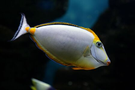Tropical fish Naso elegans (Indian Ocean) Orange-dorsal
