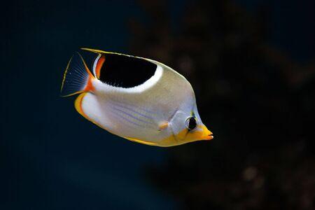 butterflyfish: Tropical fish in aquarium - Saddleback Butterflyfish, Chaetodon ephippium