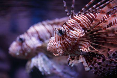pterois: Pterois volitans, tropical fish floats in the aquarium