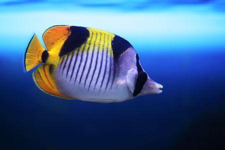 chaetodon: tropical fish Chaetodon falcula floats in the aquarium Stock Photo