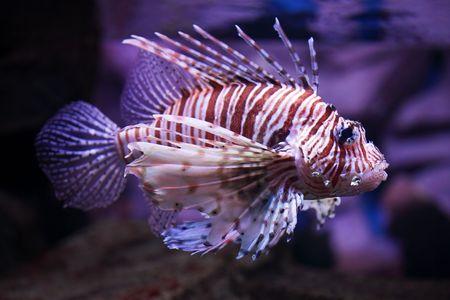 pterois volitans: Pterois volitans, tropical fish floats in the aquarium