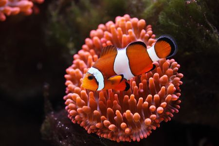 amphiprion ocellaris: clownfish near to sea anemones, Amphiprion ocellaris