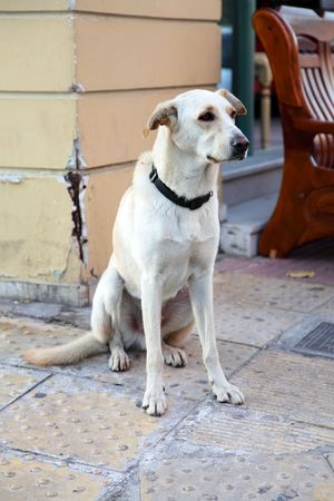 The big stray dog in Athenes, Greece photo