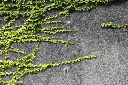 ivy wall: branch plants on the concrete wall