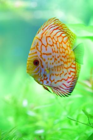 tropical discus fish in the aquarium photo