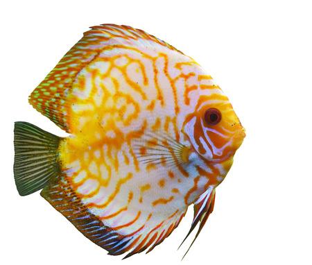 diskus: tropical fish diskus Stock Photo