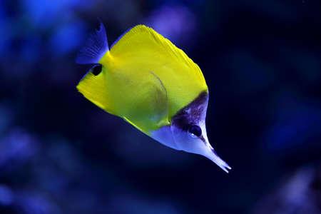 yellow tang: yellow tropical fish swims in aquarium