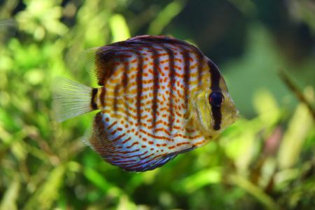 diskus: beautiful diskus in the aquarium