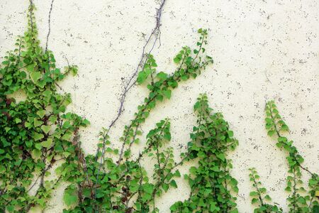ivy hanging: branches of the plant on the building wall