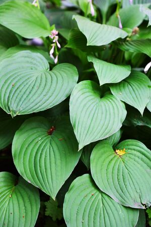 tropical plants: large green leaves of tropical plants