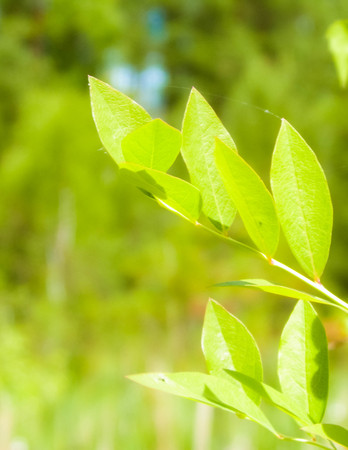 Close up of bush and its green leaves. Flora of Tuchola Forest region in Poland. Nature background, summer. Copy space.