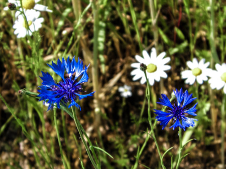 Close up of blue cornflowers (Centaurea cyanus) and daisies (Bellis). Polish nature in summer, floral and gardening concept.