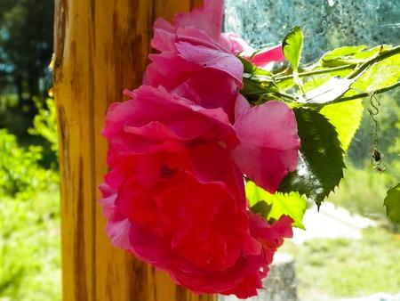 Close up of pink rose flower. Polish nature in summer, petals of pink rose. Stok Fotoğraf