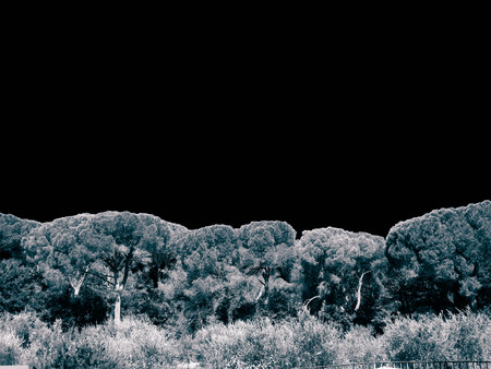 Pine trees on sky background. Nature concept, copy space. BW filter toned. Imagens