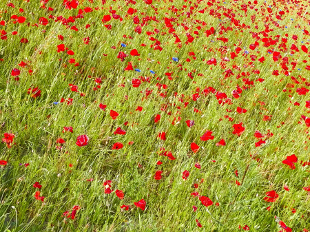 Meadow full of poppy flowers as nature background. Agriculture concept.