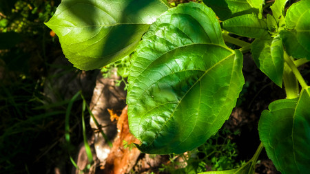 Close up of plant with green leaves. Nature background.