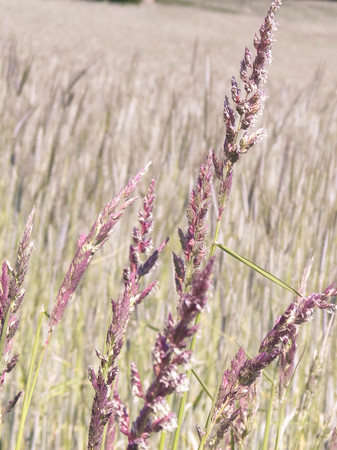 Close up of grass on summer meadow. Nature background, floral concept.