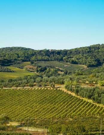 Landscape of the Tuscan vineyards in sunny day. Nature and agriculture concept. Vacations in Italy. Copy space.