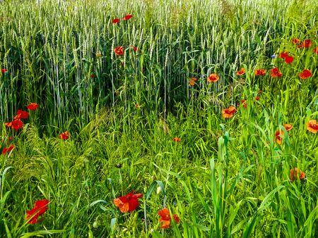 Prado con flores de amapola como fondo de naturaleza. Concepto de naturaleza.