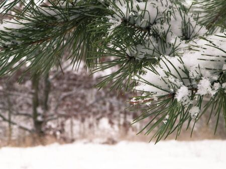 Beginning of winter - fresh snow on spruce tree branch. Copy space, nature background.