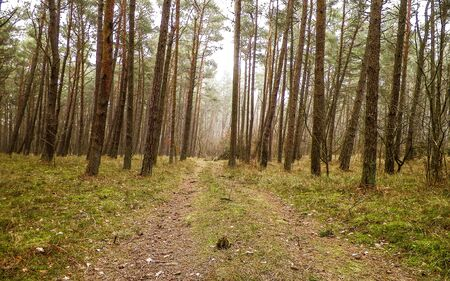 Landscape of pine forest in the coastal zone of the Baltic sea. Beautiful nature of northern Poland. Nature and travel concept.