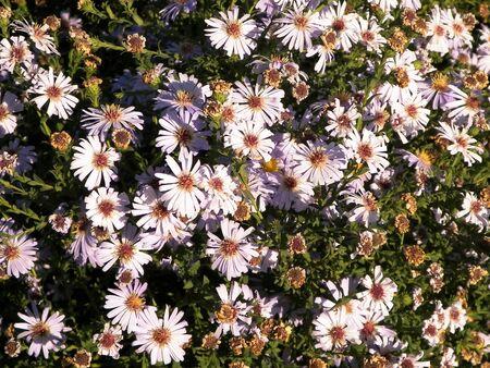 Gerbera flowers as nature background. Daisy Gerbera flowers, summer nature. 版權商用圖片