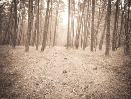 The pine forest in the coastal zone of the Baltic sea. Holidays and tourism, beautiful nature of northern Poland. BW abstract filter toned