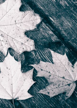 Autumn leaves on wooden plank as nature background. Copy space. BW filter toned. Stock Photo