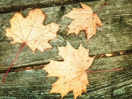 Autumn leaves on wooden plank as nature background. Copy space. Stock Photo