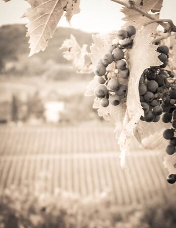 Close up of grape fruits on the vine tree. Agriculture and nature concept. Copy space. BW Sepia toned.