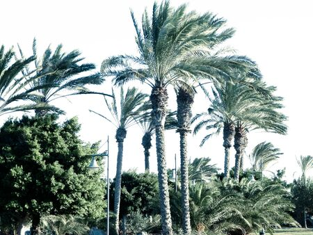 Palm trees in Lanzarote, Canary Islands. Exotic nature.