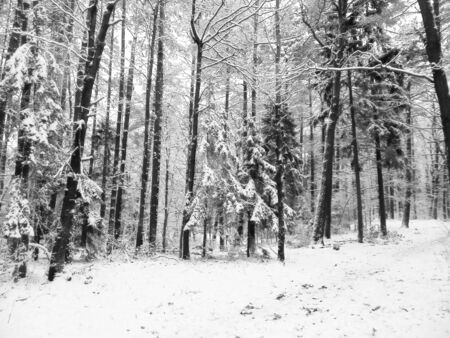 Winter forest landscape. Nature concept, abstract bw filter toned. Stock Photo