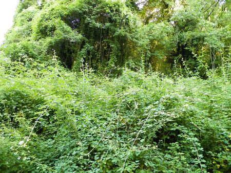 Wild nature, ivy leaves as nature background. Balkan flora, Macedonia, Galicica Park.