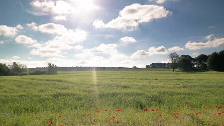 Idylic view of meadow with poppy flowers in sunny day. Typical Polish nature in countryside. Summer time, agriculture concept. Фото со стока