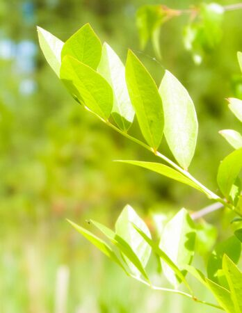 Close up of bush and it's green leaves. Flora of Tuchola Forest region in Poland. Nature background, summer. Copy space.