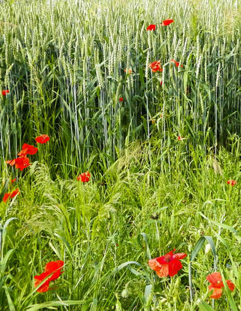 Meadow with poppy flowers as nature background. Nature concept.