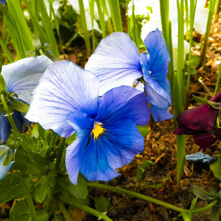 Close up of garden pansy flower (Viola
