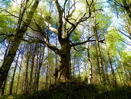 Old oak tree in Slovincian National Park, Poland. Coastal area. Nature of Northern Poland. 版權商用圖片