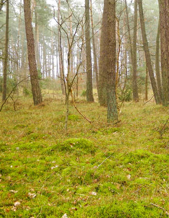 The pine forest in the coastal zone of the Baltic sea. Holidays and tourism, beautiful nature of northern Poland. 版權商用圖片 - 151444004