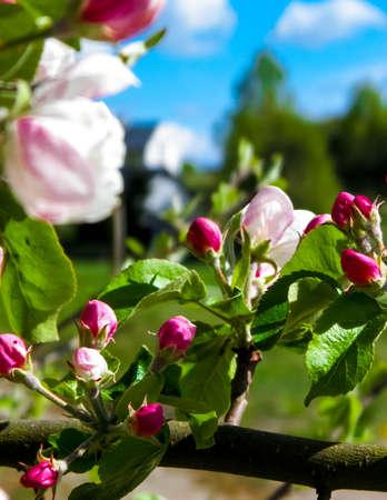 Close up of red wild apple flowers blooming in summer season. Wild nature. 版權商用圖片 - 151489163