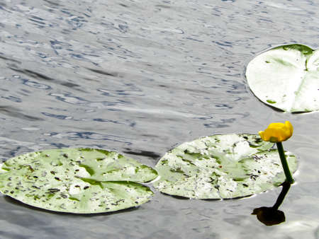 Close up of Nymphaea alba flowers on lake water. Copy space, nature concept.
