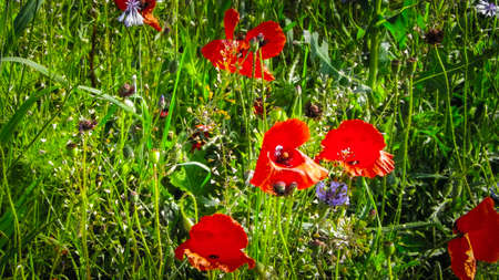 Meadow with poppy flowers as nature background. Nature concept. 版權商用圖片 - 151739519