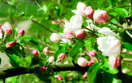 Close up of red wild apple flowers blooming in summer season. Wild nature.